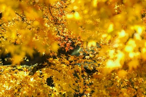 自然 植物 木 樹木 葉 葉っぱ 彩り 紅葉 もみじ 赤色 秋 10月 11月 山 森 林 森林 見頃 見物 観光 観光客 旅行 密集 集まる 多い 沢山 重なる ぼやける ピンボケ ピント アップ 撮影 景色 綺麗 鮮やか 屋外 室外 無人 風景