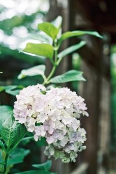 紫陽花 あじさい アジサイ 六月 梅雨時 水無月 松尾芭蕉 俳句 白 花 曇り