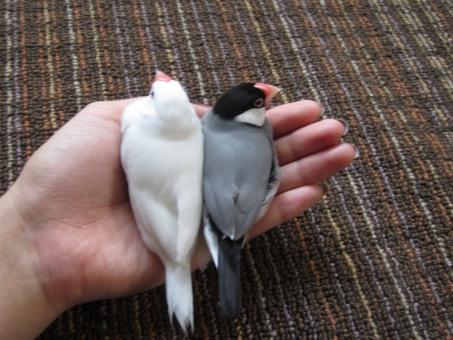 parrow 文鳥 鳥 手乗り文鳥 かわいい 癒し つがい 小鳥 リラックス ほんわり bird