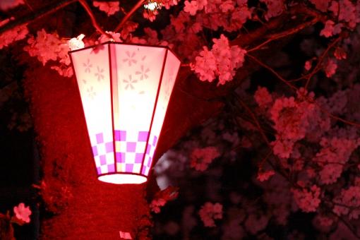 桜 春 季節 夜 さくら ピンク 夜桜 花見 お花見 植物 花 雪洞 ちょうちん ぼんぼり 灯り 明かり 明り ライト ライトアップ 木 風景 景色