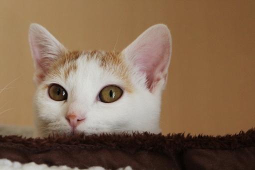 にゃんこ ニャンコ 子猫 子ネコ 子猫 ねこ 猫 ネコ ネコの顔 ねこの顔 猫の顔 カメラ目線 ペット 生き物 家ねこ 家ネコ 家猫 覗く 可愛い かわいい 癒し 動物 てまり
