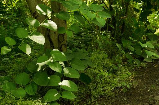 葉 葉っぱ 草 森 森の中 日陰 涼しい 木陰 茂み 茂みの中 コケ 湿気 山道 山 山の中 あぜ道 つる草 つる 草むら 植物 癒し 涼しい 山道 緑 自然 散策 ハイキング