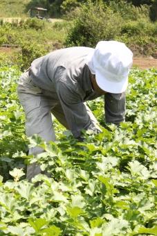 大根 畑 野菜 収穫 農業 農家
