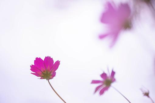秋の風景 コスモス アキザクラ 秋桜 花畑 花園 花びら 花弁 がく 桃色 ピンク 植物 花 草花 散歩 散策 自然 風景 景色 真心 のどか 鮮やか 華やか 美しい 綺麗 明るい ボケ味 ピントぼけ ぼかし