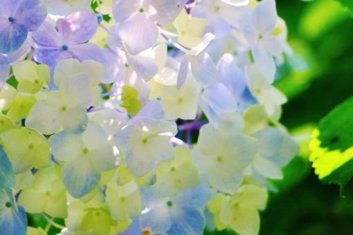 紫陽花 アジサイ 花 植物 六月 梅雨 可愛い 綺麗 青い 青色 ブルー 風景 背景 スナップ 満開 花びら