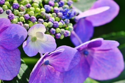 紫陽花 額紫陽花 花 植物 紫色 パープル 薄紫 梅雨 花びら 蕾 風景 背景 壁紙