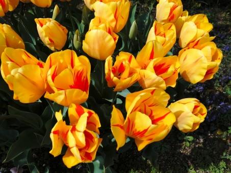 チューリップ オリンピックフレーム レンブラント系 レンブラント咲 黄色 赤 緑 春 鉢植え ガーデニング 庭 元気 花 植物