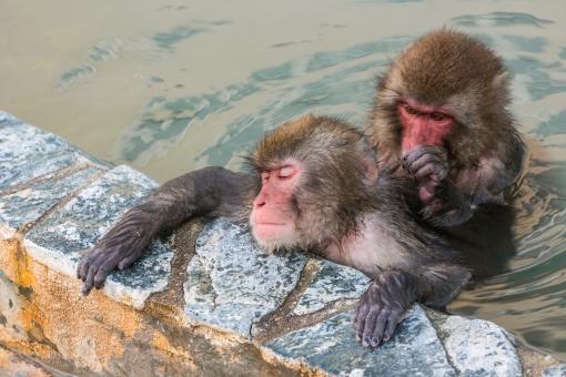 サル 猿 ニホンザル ヒト科 哺乳類 霊長類 動物 猿人 類人猿 申 申年 干支 2016年 温泉 湯 湯船 入浴 湯浴み 風呂 恍惚 居眠り 睡眠 毛づくろい モンキー