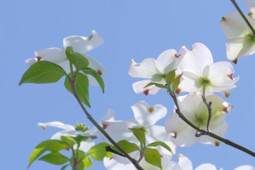 背景 壁紙 白 初夏 背景素材 素材 新緑 緑 青空 空 青 葉 葉っぱ 花水木 爽やか さわやか 4月 5月 自然 屋外 野外 外 風景 景色 植物 花 春 樹木 木 枝 はなみずき ハナミズキ アメリカヤマボウシ 開花 満開 美しい 華やか 鮮やか 庭木 街路樹 園芸 ガーデニング アップ