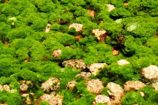 風景 川床 川底 藻 緑色 緑 藻類 水中 成長 水生植物 苔 水苔 ミズゴケ こけ 植物 自然 環境 葉 水 石 岩 浅い 浅瀬 質感 清流 清らか 透明 せせらぎ 清涼感 清涼 涼しい 涼しさ 夏 初夏 源流 クローズアップ 屋外 輝く コケ 底 反射 河川 池 湖 川 一面 水面 水草 飛び石 流れる 流れ 湧水 湧き水 水生多年草 覆う 流水 水源 春 全面 自然環境 背景