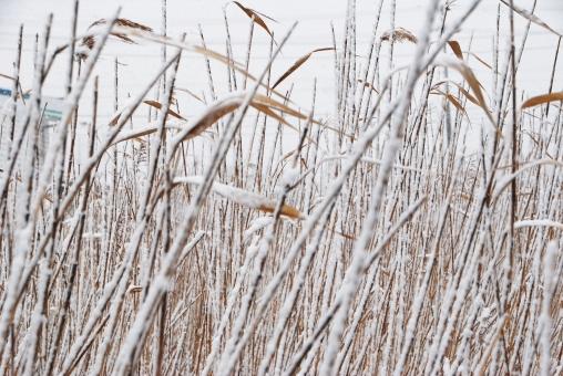 雪 積雪 白い雪 雪どけ 雪解け 雪溶け スノー 吹雪 雪国 雪景色 冬景色 snow 寒冷地 白 白色 真っ白 white 冬 厳冬 winter 真冬 自然 森 林 森林 木 tree ツリー フォレスト 降雪 積もる 季節 枝 小枝 枯れ草 枯葉 植物 ススキ すすき 芒 一つ 一つ
