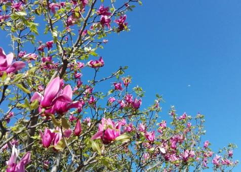 空 青空 モクレン 木蓮 ピンク 木 自然 屋外 春 あたたかい きれい すがすがしい さわやか 植物 風景 景色 晴れ お天気 うららか 散歩 レジャー 外 お出かけ 公園 広場 花 可愛い 花見