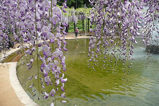 藤 花 植物 紫色 薄紫色 藤色 白 棚 垂れる 枝垂れ 自然 花びら 空 吊るす 枝 葉 雲 観光地 旅行 観光 見物 見頃 兵庫県 白井大町藤公園 池 水 水辺 水面 反射