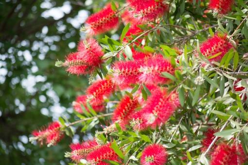ブラシの木 ブラシノキ ブラシ 花 木 赤 赤いブラシ ブラシみたいな木 おもしろい木 鮮やか 初夏