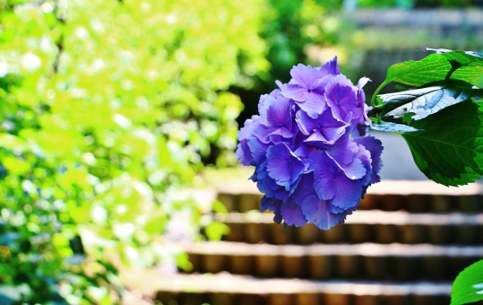 紫陽花 アジサイ 花 六月 梅雨 植物 紫 紫色 パープル 自然 風景 スナップ 背景 葉っぱ 緑 階段