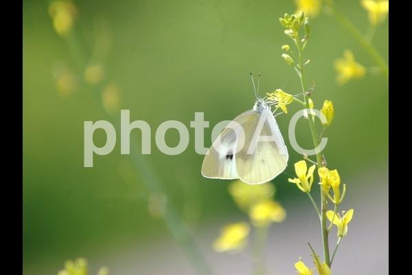 モンシロチョウ(紋白蝶)、春の京都府八幡市の散歩道での写真