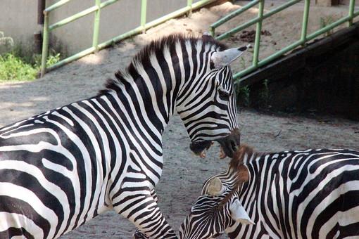動物 生き物 生物 動物園 馬 シマウマ ゼブラ サファリ 草食動物 縞 縞模様 白黒 モノクロ 大型動物 四足歩行 ほ乳類 哺乳類 草食 陸上動物 屋外 喧嘩 ケンカ 仲間 群れ じゃれあう 遊ぶ 噛みつく