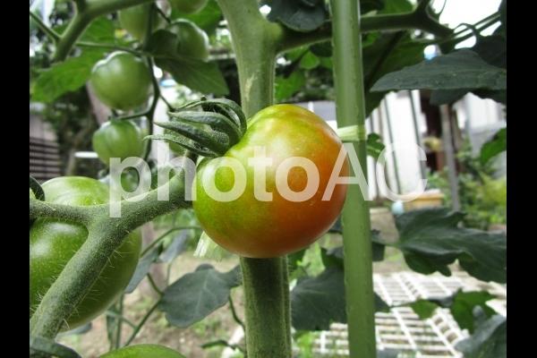 色付いてきたトマトの写真