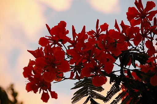 ハイビスカス 花 植物 熱帯植物 赤色 ピンク 自然 屋外 夏 南国