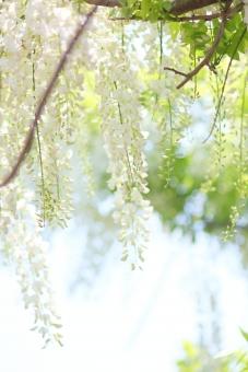藤 白 花 植物 縦位置 余白 背景 女性的 春 連休 行楽 見学