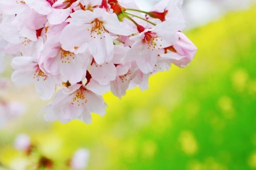 春 桜 さくら サクラ 花びら 花 お花 薄紅色 pink ピンク ピンク色 雄しべ 花粉 日本 和風 優しさ 柔らかい ソフト 癒し 安らぎ 憩い 春の花 自然 風景 背景 壁紙 テクスチャ 素材 菜の花 黄色 緑色 緑 green グリーン 植物 日本的 日本の花 国花