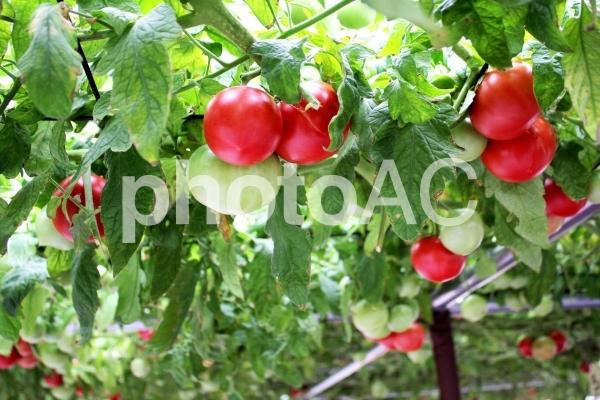 水耕栽培のトマトの写真