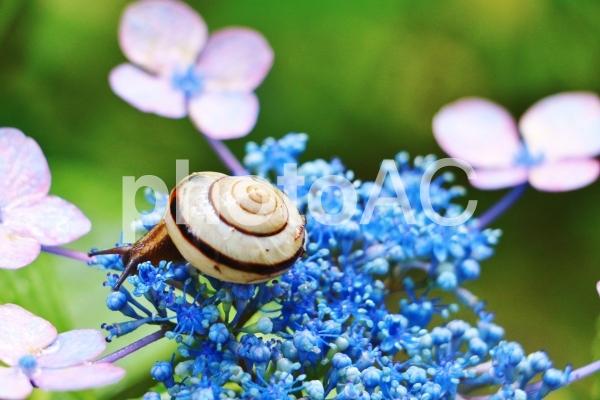カタツムリと紫陽花の写真