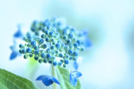 自然 風景 植物 花 つぼみ 春 あじさい 初夏 夏 新緑 若葉 新芽 もうすぐ咲く 季節の変わり目 季節感 ブルー ポストカード 暑中見舞い 待ち受け画像 森 コピースペース バックスペース 青い花 林 公園 植物園 花畑 庭 ガーデン 花壇 野外アウトドア 光を浴びて 光透過光 爽やかイメージ みずみずしい 梅雨 雨に咲く花 夏の花