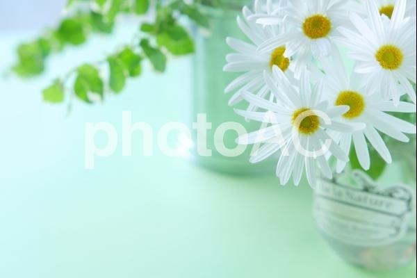清楚な花(マーガレット)の写真