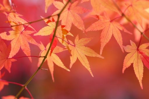 和紙 10月 あでやか あざやか 朱 美しい 和 12月 朱色 テクスチャ 植物園 もみじ狩り レジャー オレンジ 椛 紅 散歩 観光 公園 屋外 外 野外 風景 景色 樹木 葉っぱ かえで カエデ 赤色 オレンジ色 色づく アップ クローズアップ 鮮やか 背景 自然 壁紙 背景素材 日差し 木漏れ日 ポストカード モミジ 季節 植物 コピースペース 枝 和風 紅葉狩り 落葉 日本 紅葉 もみじ 楓 赤 黄色 葉 木 秋 晩秋 陽だまり 午後 11月 11月 光