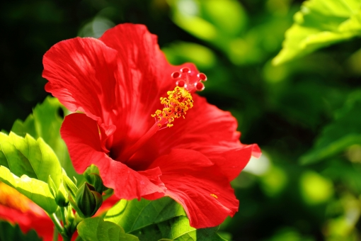ハイビスカス 花 花びら シベ しべ 赤 緑