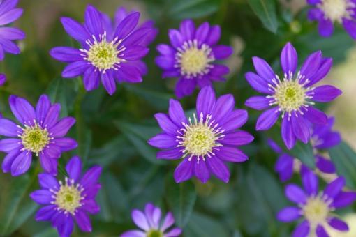 都忘れ みやこわすれ ミヤコワスレ 花 植物 紫の花 青 春 自然 背景 壁紙 可愛い かわいい 美しい 可憐 庭 ガーデニング 日本 和 和風 花畑 5月 五月 4月 四月 六月 6月