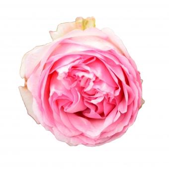 バラ ピンク(切り抜きPSDあり)の写真