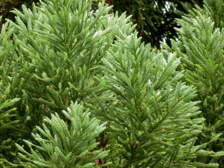 杉 スギ 花粉 木 花粉症 植物 自然 杉の木