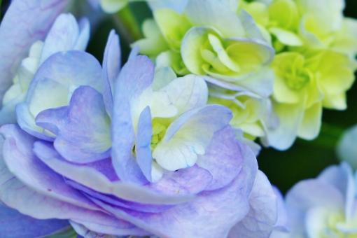 紫陽花 花 植物 紫 紫色 パープル 薄紫 梅雨 花びら 風景 背景 壁紙