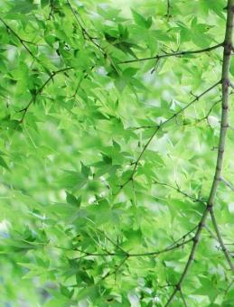 モミジ もみじ 椛 夏 夏のモミジ 夏のみみじ 夏の椛 葉 葉っぱ モミジの葉 もみじの葉 椛の葉 緑 緑色 グリーン green 模様 手の平 掌 若葉 若葉色 青い 若い 若々しい いきいき 生き生き イキイキ 薄緑 黄緑 黄緑色 風景 景色 景観 壁紙 テクスチャ 素材 爽やか 爽快 清々しい 気持ちいい 気持ち良い 涼しい 涼しさ 涼 涼感 夏らしい 涼やか leaf リーフ 重なり 葉の重なり 夏のもみじ カエデ 楓 若い葉 若い葉っぱ 葉の緑 緑の葉 緑色の葉 緑色の葉っぱ 優しい 癒し 枝