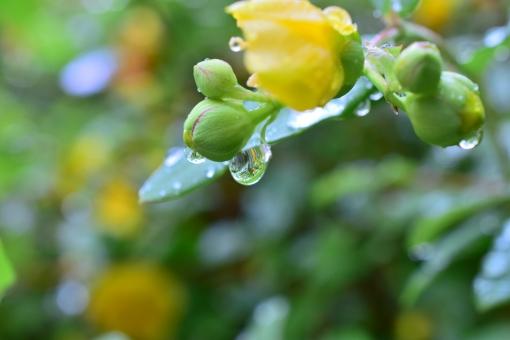 梅雨 雨 水無月 しずく 滴 雫 あめ 季節 6月 コピースペース 背景 余白 癒し いやし 黄色 風景 花 落ち着く かわいい 綺麗 きれい キレイ 女性 なみだ 涙 つぼみ 蕾 安らぎ