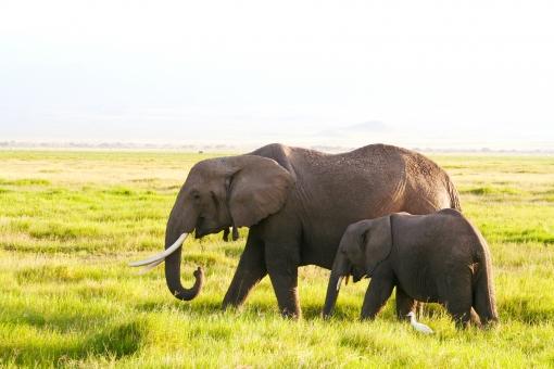 サバンナゾウの親子 母親ゾウ 子ゾウ 2頭のゾウ 野生ゾウ2頭 サバンナゾウ アフリカゾウ 野生のゾウ 野生のアフリカゾウ 野生のサバンナゾウ 象牙の大きなアフリカゾウ メスのアフリカゾウ 象牙の大きなサバンナゾウ サバンナ地域のゾウ 象牙 アフリカの国立公園 ケニアの国立公園 自然保護区 国立公園 野生動物 動物園にいる動物 アフリカの自然 絶滅危惧種 ゾウ サバンナ ケニア kenya アフリカ アフリカ大陸 アフリカの景色 アフリカの動物 アフリカの野生動物 野生動物の姿 親子 動物の親子 ゾウと鳥 ゾウとアマサギ 保護されている動物 保全地域 ツーリズムと野生生物保全 ツーリズム サファリ アフリカン・サファリ アフリカ旅行 陸上で一番大きな哺乳類