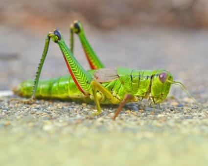 昆虫 虫 バッタ ばった 緑のバッタ 殿様バッタ 生き物 跳ねる虫