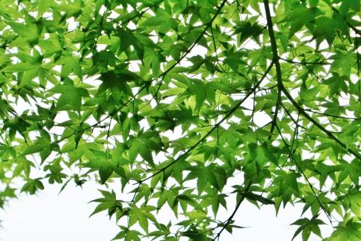モミジ もみじ 椛 夏 夏のモミジ 夏のみみじ 夏の椛 葉 葉っぱ モミジの葉 もみじの葉 椛の葉 緑 緑色 グリーン green 模様 手の平 掌 若葉 若葉色 青い 若い 若々しい いきいき 生き生き イキイキ 薄緑 黄緑 黄緑色 風景 景色 景観 壁紙 テクスチャ 素材 爽やか 爽快 清々しい 気持ちいい 気持ち良い 涼しい 涼しさ 涼 涼感 夏らしい 涼やか leaf リーフ 重なり 葉の重なり 夏のもみじ カエデ 楓 若い葉 若い葉っぱ 葉の緑 緑の葉 緑色の葉 緑色の葉っぱ 優しい 癒し