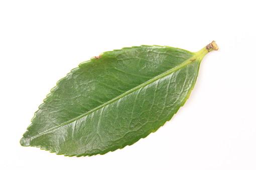 葉 葉っぱ 緑 植物 ナチュラル 白バック 白背景 エコ エコロジー 自然 新緑 ピュア 葉脈