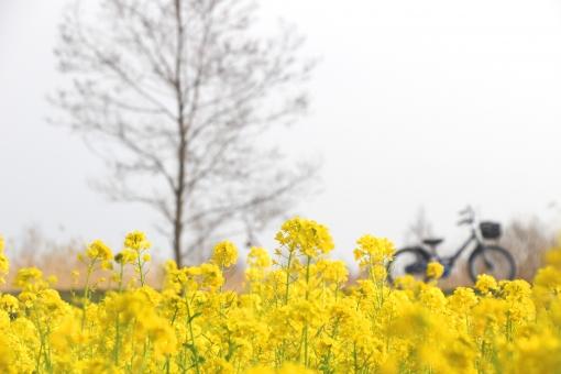 菜の花の風景1の写真