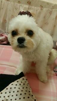 空 sky 犬 dog 可愛い cute 動物 animal 癒し 白 white 茶色 brown 男の子 boy ビションフリーゼ キャバリア キャバション シュシュ ヘア ヘアアクセ アクセサリー