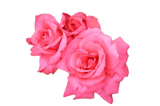 薔薇 23 だんじり囃'02(PSD 背景透過 切抜)の写真