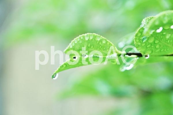 葉のしずくの写真