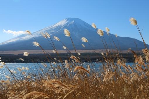 富士山 風景 自然 観光 観光地 人気 山梨 湖 山中湖 世界遺産 アジア 日本 山梨 登山 すすき 雪 冠雪 快晴 空 青 雲 綺麗 植物 草 木 秋 冬 水
