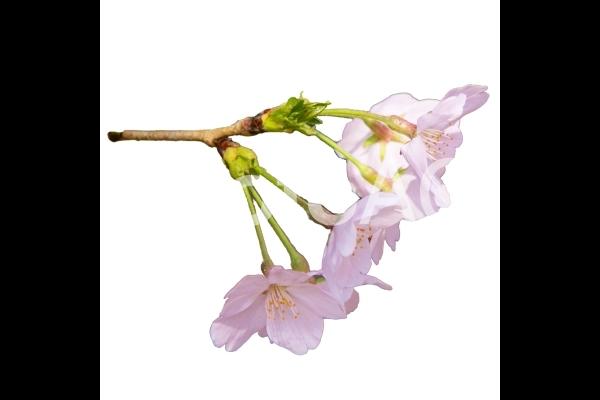 桜_8の写真