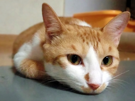 猫 ネコ ねこ キャット にゃんこ 白 茶 オレンジ ピンクの鼻 顔 表情 ヒゲ 白いひげ 耳 開いた目 目を開けた 退屈 つまらない やる気なし 考え事 うつぶせ 飼い猫 家猫 室内猫 かわいい アップ 接写 鉄板 くつろぐ れん