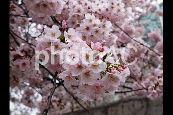 桜さくらサクラ2の写真