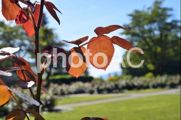 バラの赤い葉っぱに光があたり透けているところの写真